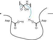 Proposed mechanism of peptide cleavage by aspartyl proteases