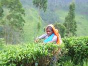 Manual Tea plucking in Sri Lanka.