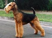 Australian & New Zealand Champion Airedale Terrier