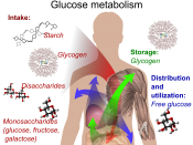 English: Glucose metabolism and various forms of it in the process. Glucose-containing compounds are digested and taken up by the body in the intestines, including starch, glycogen, disaccharides and as monosaccharide. Glucose is stored in mainly the live