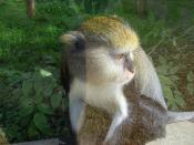 Lowe's monkey
