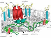 English: Major proteins in the erythrocyte (red blood cell) membrane.