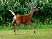 English: AN EASTERN UNITED STATES WHITETAIL DEER - A DOE WITH TAIL UP, THE FLAG OF ALARM IN THIS SPECIES.