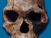 English: Homo habilis KNMR 1813 discovered at Koobi Fora (replica) Español: Réplica del cráneo de Homo habilis KNMR 1813 descubierto en Koobi Fora (Kenia)