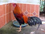 Español: Un gallo de pelea