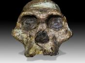 The original complete skull (without upper teeth and mandible) of a 2,1 million years old Australopithecus africanus specimen so-called