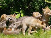 Coyote (Canis latrans) pups