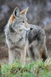 English: Coyote at Ridgefield National Wildlife Refuge
