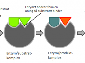 Diagram, with Swedish captions, illustrating the induced fit model of enzyme activity.