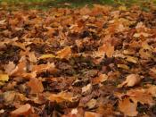 Maple leaves fallen on a lawn.
