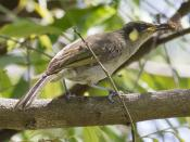lewins honeyeater with cicada