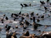 California Sea Lions,Zalophus californianus at Moss Landing
