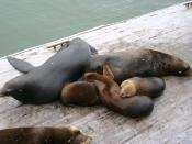 A family (I suppose) of Sea lions in Santa Cruz, California.