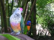 Rose-crowned Fruit-dove  - Australia Zoo