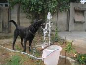 English: Labradors are considerably