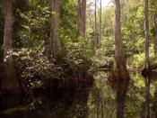 English: Wooded swamp habitat on the western side of the Okefenokee Swamp in the Okefenokee National Wildlife Refuge
