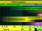English: Phases of wound healing. Limits vary within faded intervals, mainly by wound size and healing conditions, but image does not include major impairments that cause chronic wounds.