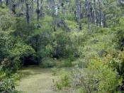 A freshwater swamp in Florida.
