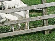 Airfield Farm & House - Goats