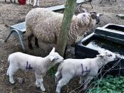 Airfield Farm & House - Sheep and Lambs