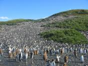 Great colony of about 60,000 pairs of hatching King Penguins (Aptenodytes patagonicus) in Salisbury plain on South Georgia. Français : Une grande colonie de 60 000 couples de manchots royaux (Aptenodytes patagonicus) dans la plaine Salisbury en Géorgie du