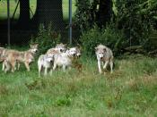 These are the European grey wolves, out and about!