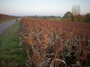 millet field - Hirsefeld