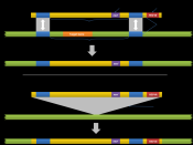 English: Diagram of gene targeting using homologous recombination. This is a genetic engineering technique used replace specific regions of a genome with a designed sequence.