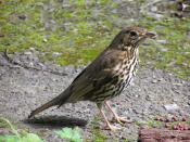 Song Thrush in Wellington, New Zealand (introduced species)