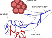 English: A diagram of the alveoli, both in cross section and externally. Created by Pdefer