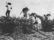 English: Chinese contract laborers on a sugar plantation in Hawaii.