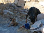 Puppy Rose Alice Lane and Lady Momma being fed before Lady Momma brought the other pups, dog rescue from starvation, Cemetery, San Rosalia, Baja California Sur, Mexico