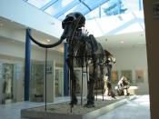 English: Skeleton of a Woolly Mammoth in the Brno museum Anthropos. The skeleton is composed from bones found on the famous locality Předmostí.
