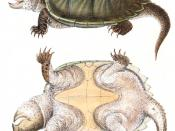 Alligator Snapping Turtle, Macrochelys temminckii, hand-colored lithograph,