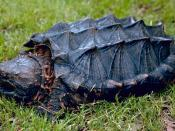 English: Alligator snapping turtle (Macrochelys temminckii)