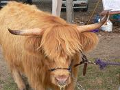 English: An entrant in the Highland cattle section at the 2006 Mt Pleasant Show