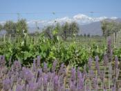 A vineyard just outside mendoza with the Andes in the background
