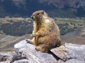 A marmot seen on top of Mount Dana, Yosemite, CA, USA. The road in the background is Tioga Pass Road. (Edited version of original: sharpened and curve adjustment by jjron).