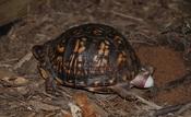 English: Eastern Box Turtle (Terrapene Carolina carolina) digging a hole and laying eggs in Fairfax, Virginia. Polski: Żółw (Terrapene Carolina carolina) kopie dołek i składa jajka w Fairfax, Wirginia.