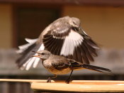 English: Two Northern Mockingbirds at a bird bath in Austin, Texas.