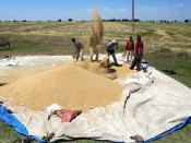 Farmers Sifting Grain