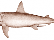English: Male Basking Shark (Cetorhinus maximus).