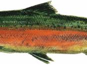 Drawing of male freshwater phase Steelhead (Oncorhynchus mykiss) from a pamphlet about the Lake Washington Ship Canal Fish Ladder at the Hiram M. Chittenden Locks, Seattle, Washington, scanned at 600 dpi and cleaned up.