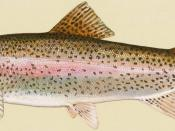 English: Rainbow trout