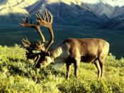 Male caribou in Alaska