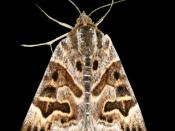 Mother Shipton Moth, named after the pattern on its wings resembling the face of a hag.