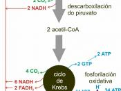 English: ATP production in aerobic respiration