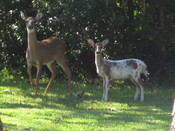 English: White tailed deer piebald fawn with its mother. Photo taken in suburban back yard in Gainesville, Florida, USA.