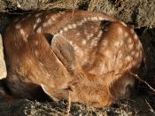 English: A wild Black-tailed Deer (Odocoileus hemionus columbianus) fawn I found in my backyard.