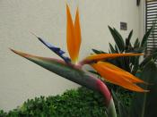 English: Bird of paradise flower (Strelitzia reginae). Spotted in São Carlos, Brazil.